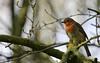 Robin des bois....