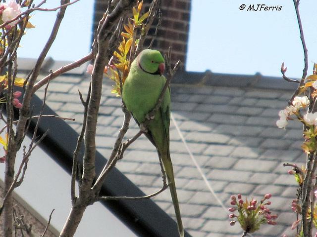 05 ring-necked parakeet