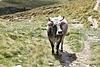 Tiroler Kuh ....