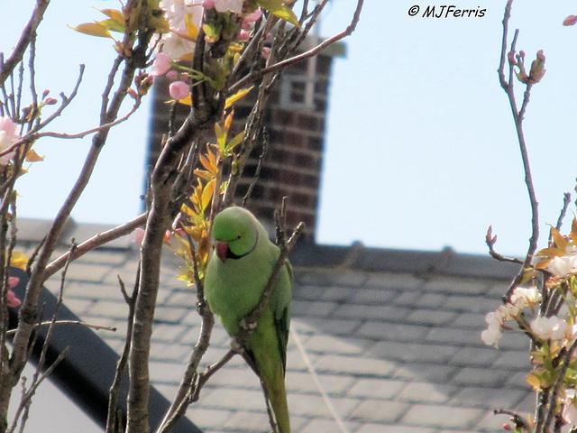 06 ring-necked parakeet