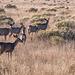 mule deer 6