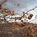 Malus sylvestris, Macieira brava, Rosaceae
