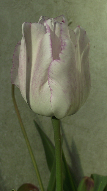Delicate white tulip with pale lilac edging