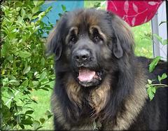 Un beau gosse, ce Léonberg ! (CLIC SUR PHOTO)