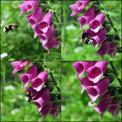 a bumblebee and the foxgloves