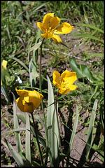 Tulipa sylvestris (1)