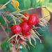 Früchte der Kartoffelrose