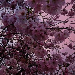quand le ciel se transforme en fleurs,