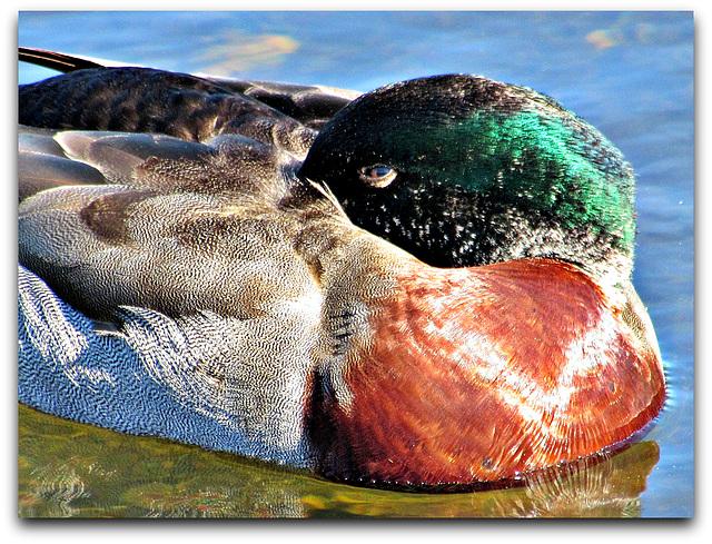 Sleepy Duck.