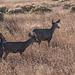 Mule deer1