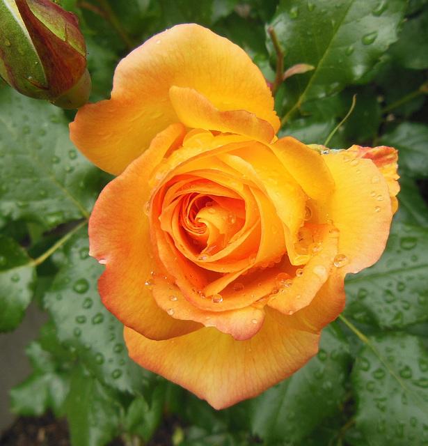 O like ORANGE rose