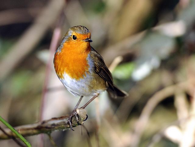 Robin ~~~ Erithacus Rubecula