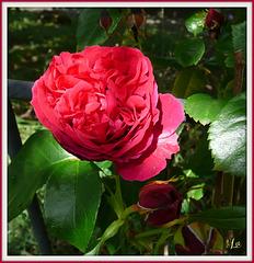 ** Une rose pour vous qui passez ; bisous **