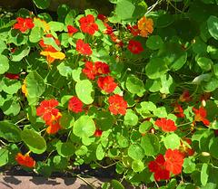 Kapuzinerkresse in meinem Garten - kapucintropeolo en mia ĝardeno