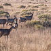 Mule deer4