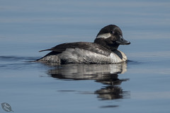 Pictures for Pam, Day 166: Bufflehead Male