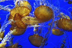 Pacific Sea Nettles – Monterey Bay Aquarium, Monterey, California
