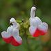 DSC 0703ac Home Bi-color Sage Flowers
