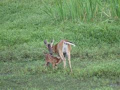 Whitetail deer nursing her fawn