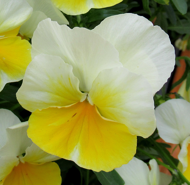 PENSEE ENSOLEILLEE / SUNNY PANSY