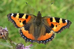 Vanessa dell'ortica (Nymphalis (Aglais) urticae