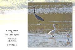 Grey Heron & 2 Little Egrets in Mill  Creek - Newhaven - 18.7.2016