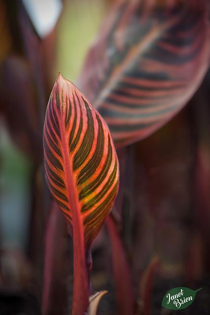 349/366: Canna Leafling