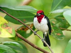 Masked Cardinal / Paroaria nigrogenis, Trinidad