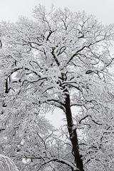 The mighty black walnut tree