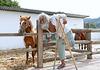 Skyros, chevaux miniatures et leur lad