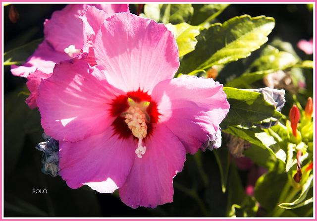 Hibiscus syriacus (+1PiP)