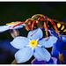 Wespenbiene