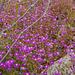 Spergularia purpurea, Caryophyllales, HFF to my iper buddies