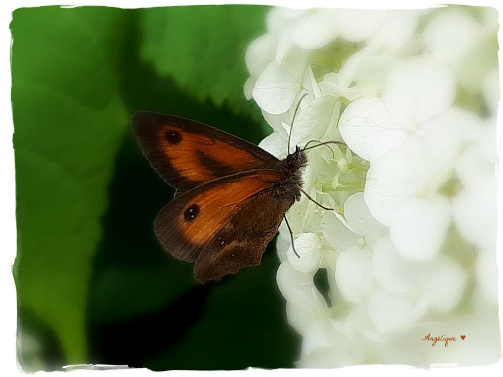 Bonne semaine !...............Pyronia cecilia