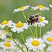 Bee on Daisies