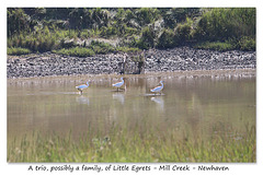 Three Little Egrets in Mill Creek - Newhaven - 18.7.2016
