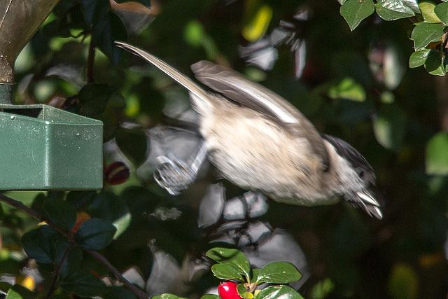20151011 9379VRTw [D~RI] Sumpfmeise (Poecile palustris), Rinteln