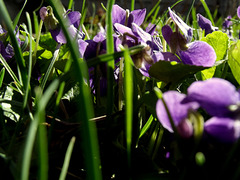A crowd of violets
