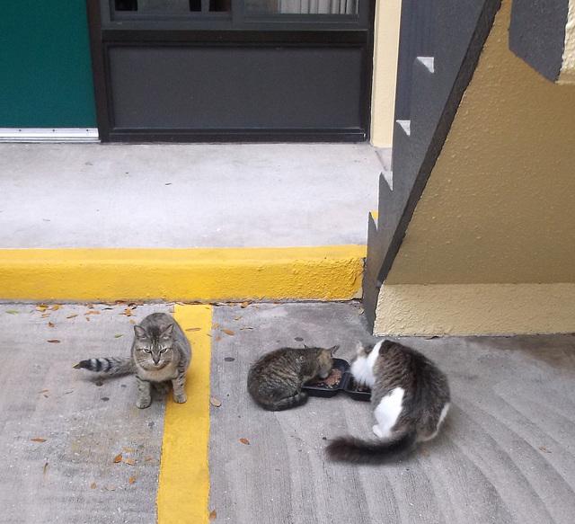 Homeless cats / Félins sans-abris.