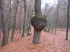 Kugelbaum