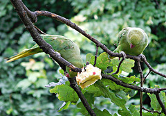 Two more green parrots