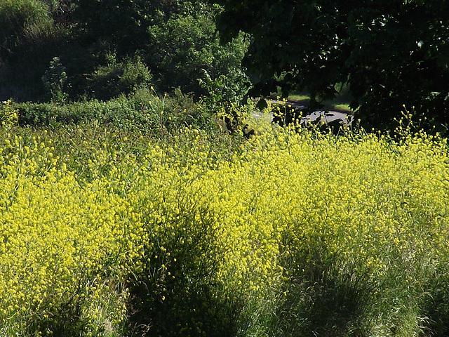 The beautiful bright yellow rape seed