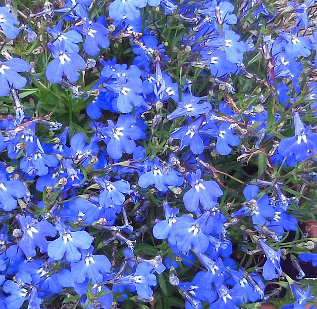 V wie VIELE  blauen Blumen !!!