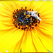 Mistbiene (Eristalis tenax). ©UdoSm