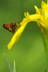 yellow iris CSC 8756