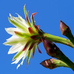 Cereus Bloom