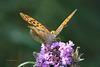 Papillon Tabac d'Espagne sur fleur de buddleia