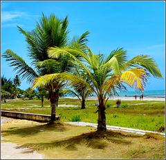 Maceio : le giovani palme sulla spiaggia