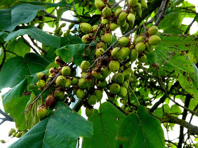 Anna Paulownia boom met vruchten