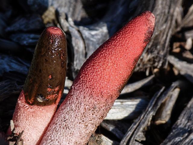 Stinkhorn fungus / Mutinus elegans